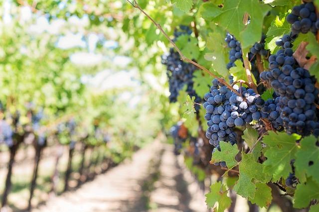 Potpore za vinogradare
