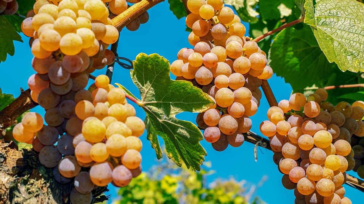 vinograd potpora